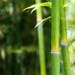 Closeup Bambusstangen